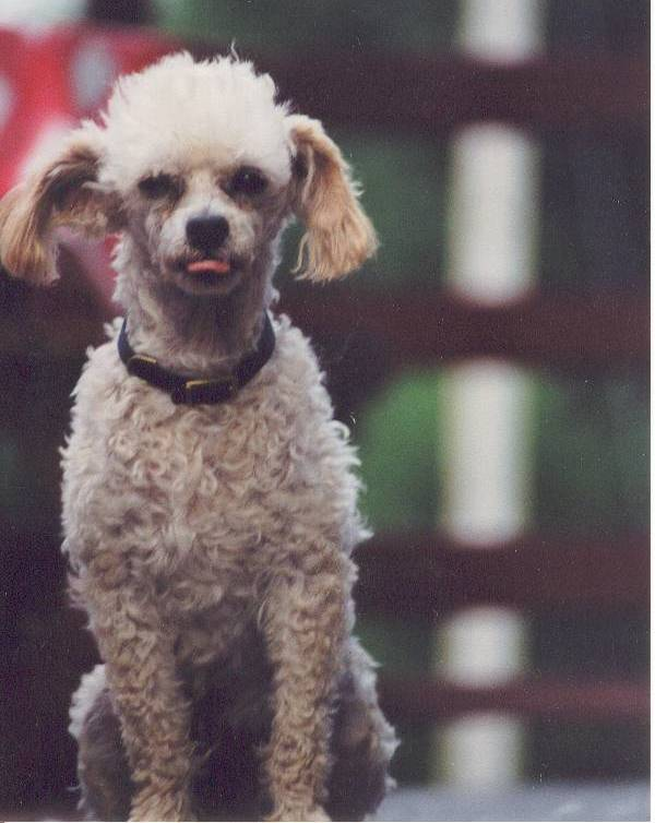Picket Fence Poodle Rescue | Minnesota's Poodle Rescue Rehome