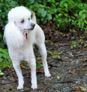 White Poodle on side of picture