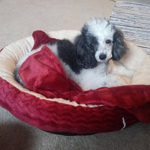 GAIL'S CORNER   Picket Fence Poodle Rescue