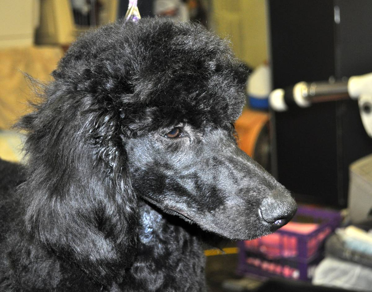 Toy Poodle Rescue Centres Uk – Wow Blog