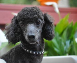 POODLES AVAILABLE FOR ADOPTION | Picket Fence Poodle Rescue