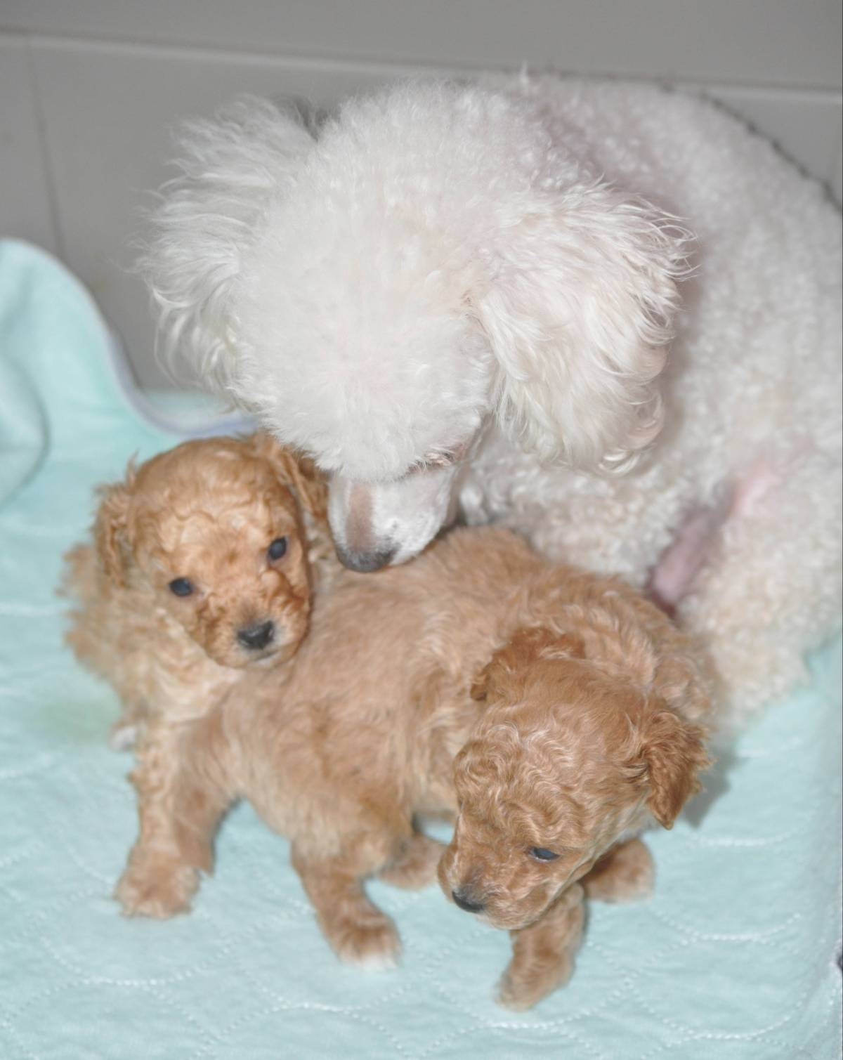 Poodles Available For Adoption Picket Fence Poodle Rescue